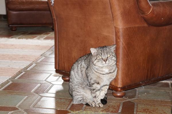 кот, жирный кот, наглая котовья морда, бандитская котовья рожа